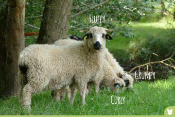 Fluffy, Curly et Grumpy